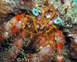 Star Eyed Hermit Crab by Kay Wilson